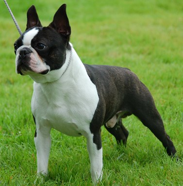 Boston terrier for sale vancouver bc